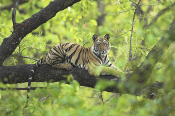 Tiger (Panthera tigris) 14-month Lakshmi cub resting in tree, Bandhavgarh National Park, India. Endangered species.