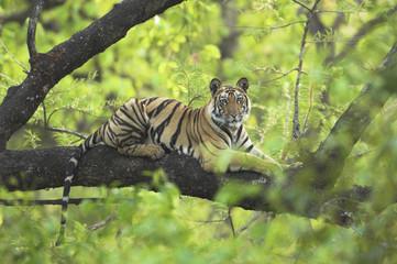 Tiger (Panthera tigris) 14-month Lakshmi cub resting in tree, Bandhavgarh National Park, India. Endangered species.