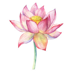 Pink flowers lotus (water lily, Indian lotus, sacred lotus, Egyptian lotus). Watercolor hand drawn painting illustration isolated on white background. Symbol of India