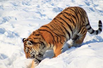 Wild siberian tiger follows its prey.