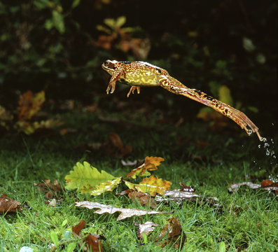 Common Frog (Rana temporaria) female leaping, UK.