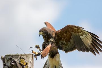 Haris's Hawk bird of prey landing at country fair falconry display Fototapete