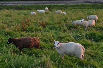 Foto auf Gartenposter Schaf een zwart schaap en witte schapen op de oude dijk tussen Overijssel en de Noord-Oostpolder