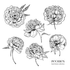 Beautiful peonies set. Hand drawn detailed blossom flowers and leaves. Black and white vector illustration collection.