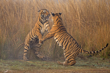 Bengal tiger (Panthera tigris tigris) 11 month old cubs play fighting. Ranthambore National Park, India.