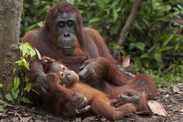 Bornean Orangutan with baby sitting outdoors