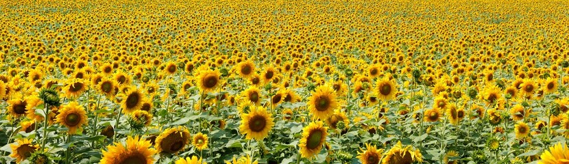 Sunflowers at blue sky background, agricultural landscape