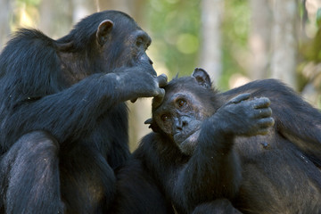 Close up of chimpanzee grooming =
