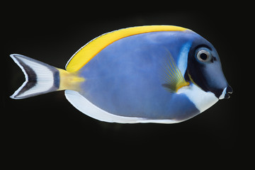 Powder blue tang fish side cutout view