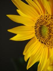 Close up of sunflower. Black background.