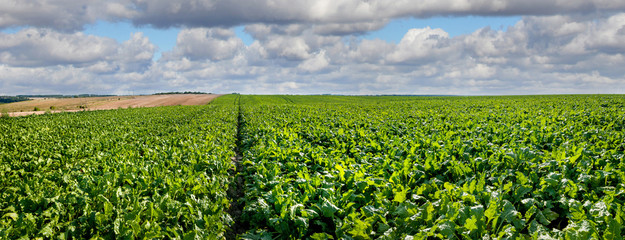 Panorama of Sugar beet bright green leaves in field with cloudy blue sky