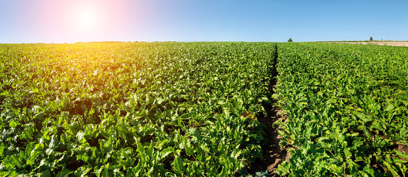 bright green leaves in Sugar beet field with sun
