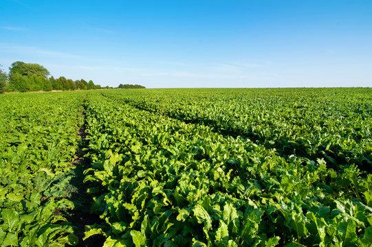 Sugar beet green leaves in field with blue sky