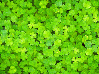 Natural green background. Plant and herb texture. Leafs green young fresh oxalis, shamrock, trefoil close up