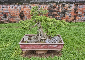 bonsai tree in pot in an asian garden