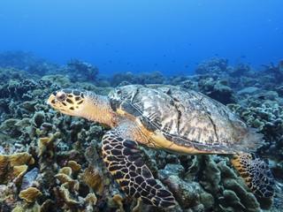Unterwasser - Riff - Schildkröte - Karettschildkröte - Tauchen - Curacao - Karibik