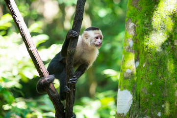 Monkey capuchin sitting on tree branch in rainforest of Honduras
