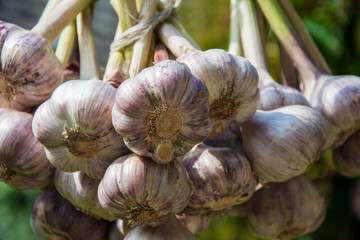 Closeup of bunches of garlic drying in the sun