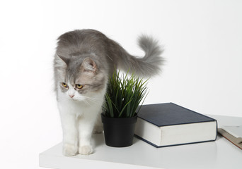Cute cat standing on a table with a plant pot and book. Isolated white background