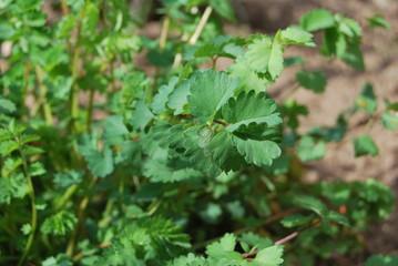 Pimpernelle, Kleiner Wiesenknopf (Sanguisorba minor)