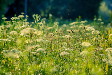 Meadow grasses in summer afternoon