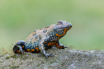 European fire-bellied toad - Bombina bombina