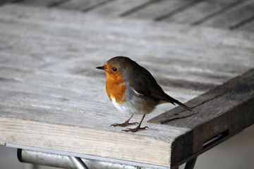 Robin on table