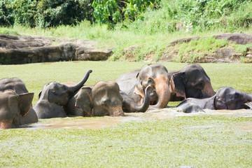 Asian elephants- Sri Lanka
