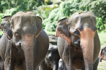Parental protection - Elephants of Sri Lanka