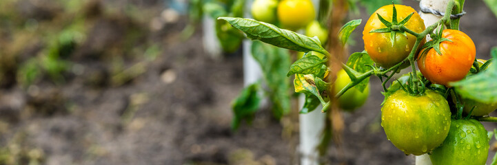 Growing Tomatoes, organic farming panorama
