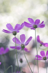 Delicate purple flowers looking up with pastel colors, background bokeh. Soft selective focus