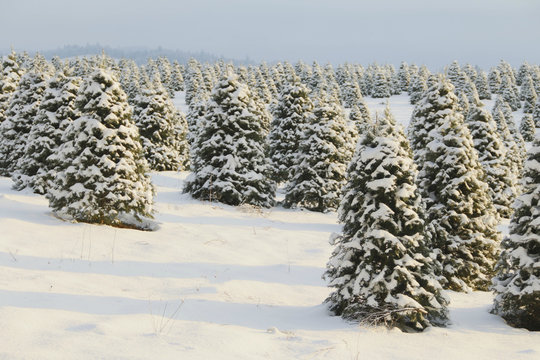 Douglas Fir, Christmas Tree Farm Covered in a Blanket of Snow, a Winter Wonderland, Trees Shown is Soft-Focus in Background, Hazy Blue Sky, Daytime - Willamette Valley, Oregon
