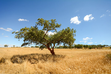 Hilly Alentejo landscape with cork oak trees and yellow fields in late summer near Beja, Portugal Europe