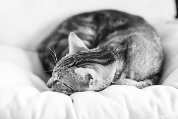 Black and white photo of a sleepy, beautiful cat on an armchair