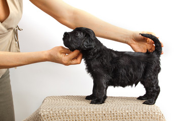 Black Russian Terrier puppy one month  age in the exhibition stand