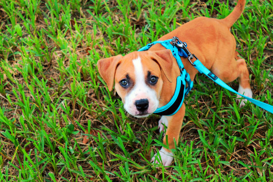 Walking Young Pit Bull / American Staffordshire Terrier Puppy in a Blue Harness on a Leash