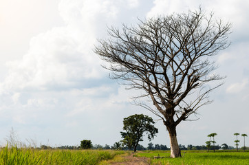 Leafless trees in rice fields.