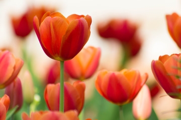Beautiful Field of Red Tulips with white background
