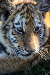 Tiger Cub - III