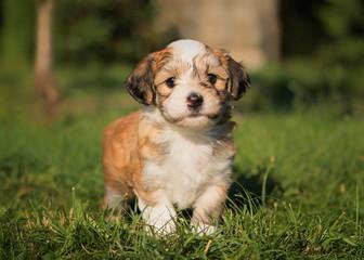 havanese dog puppy