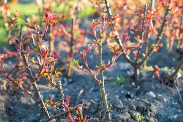 Cropped rose bush in spring