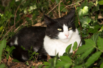 Cute black and white cat hiding in the bush