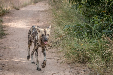 An African wild dog running on the road.