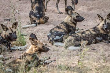 A pack of African wild dogs laying in the sand.