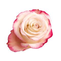 cream and pink rose