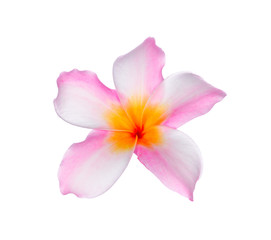 pink frangipani (plumeria) flower isolated on white