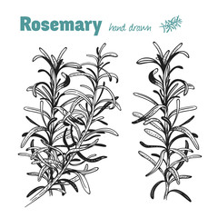 Rosemary plant vector hand drawn illustration set