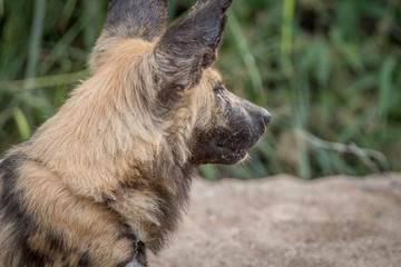 An African wild dog playing with a stick.