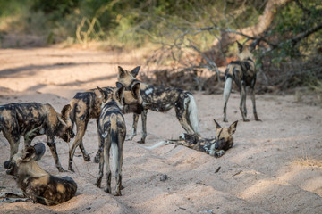 A pack of African wild dog walking.