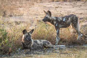 Two African wild dogs resting in the water.